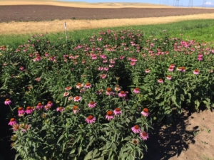 Echinacea field in north central Oregon
